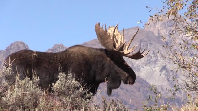 bull moose im herbst trott - elch stock-videos und b-roll-filmmaterial