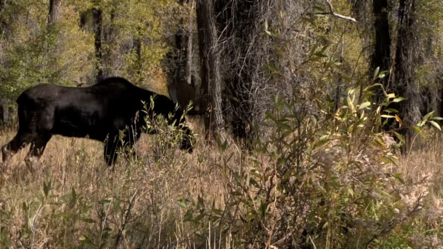 Bull Moose in the Fall Rut video