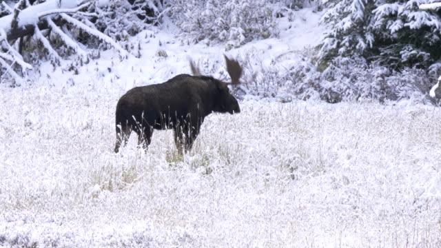stier elch schütteln schnee von seinem geweih am gelbstein - elch stock-videos und b-roll-filmmaterial
