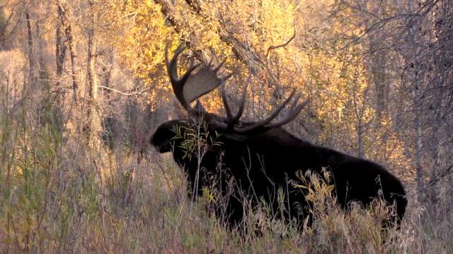 bull moose - elch stock-videos und b-roll-filmmaterial