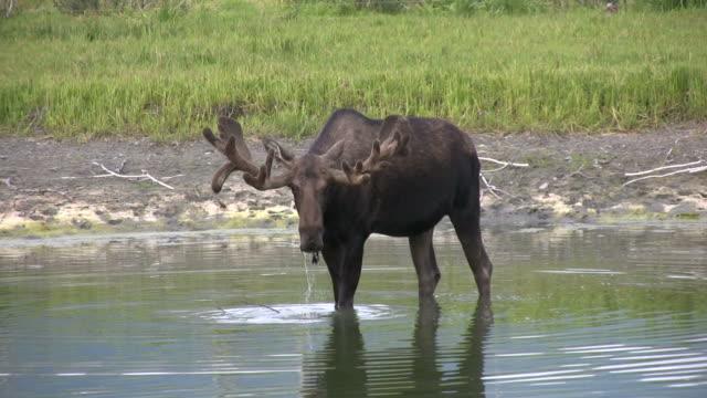 bull moose walking und trinken in alaska lake - elch stock-videos und b-roll-filmmaterial