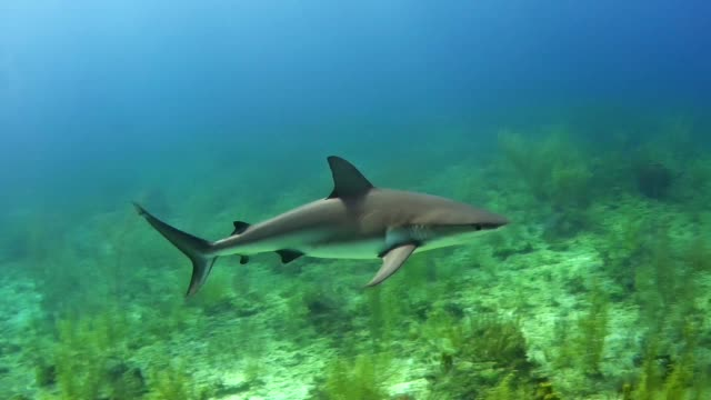Bull shark. Underwater scenery Large shark swimming close to a camera. Diving young animal stock videos & royalty-free footage