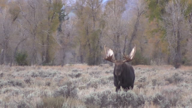 Bull Shiras Moose in Autumn video