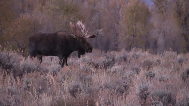 bull shiras elch im herbst - elch stock-videos und b-roll-filmmaterial