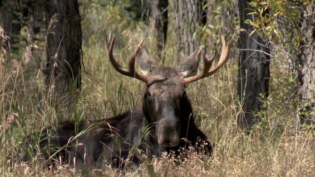 Bull Shiras Moose in Rut video