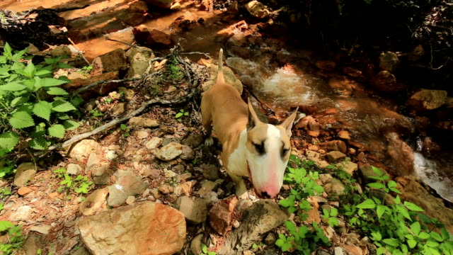 Bull terrier in nature Bull terrier enjoying by the stream terrier stock videos & royalty-free footage