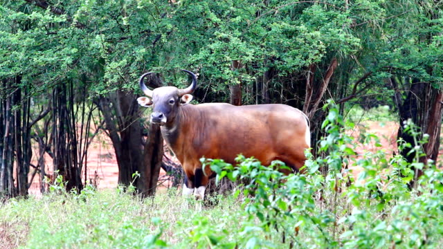 Banteng Banteng watches out for any danger. corral stock videos & royalty-free footage