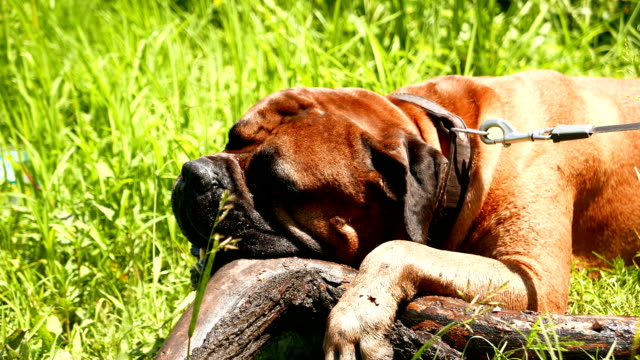Bullmastiff dog breed gnaws large branch outdoors