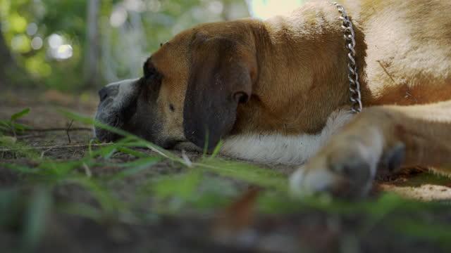 Bullmastiff dog lying on ground