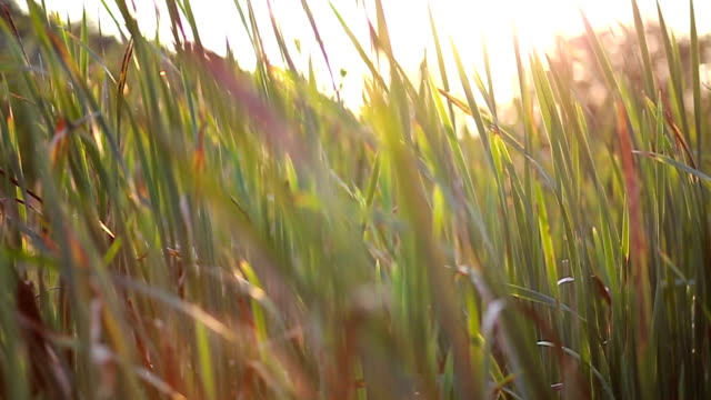 Bulrush among green grass video