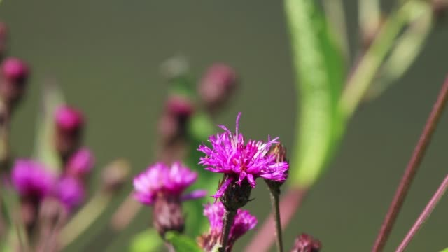 A bumble bee is pollinating an ironweed flower