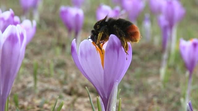 vidéos et rushes de slo mo cu bumble bee on purple saffron crocuses (crocus sativus), vrhnika, slovenia - crocus