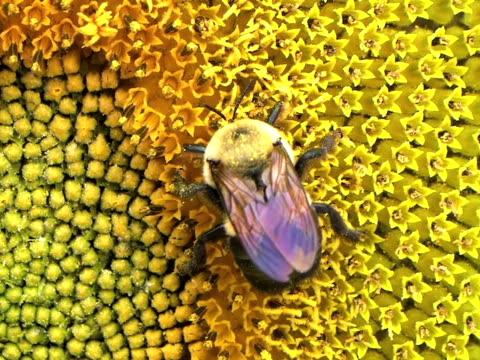 vídeos y material grabado en eventos de stock de bumble bee de girasol 02 (hd_link_below - insecto himenóptero