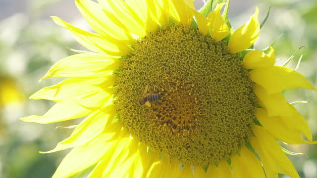 Bumble bees collecting pollen from a sunflower