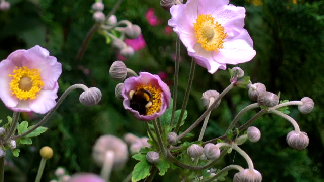 Bumblebee, Climbing Into the Center of a Flower video