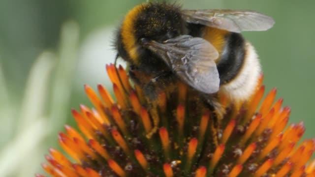 humlor samla nektar-makro - pollinering bildbanksvideor och videomaterial från bakom kulisserna