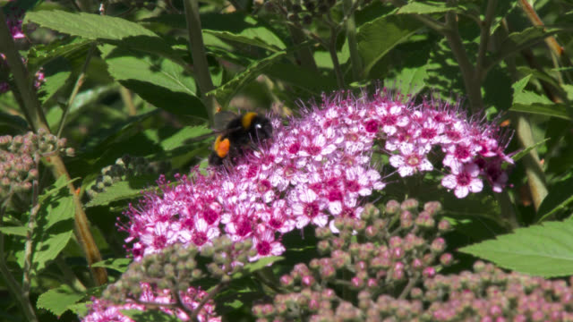 Bumblebee collecting pollen from a flower in a garden