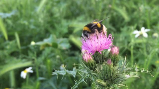 Bumblebee collecting pollen on a pink flower and grass background Bumblebee collecting pollen on a pink flower and green grass background sorpresa stock videos & royalty-free footage