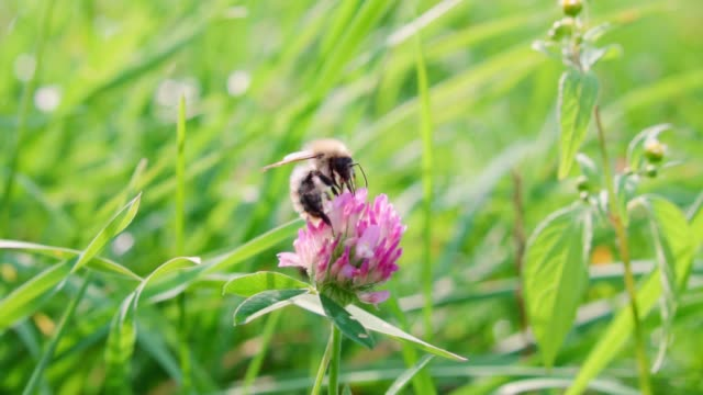 Bumblebee collects nectar from a clover flower, slow motion