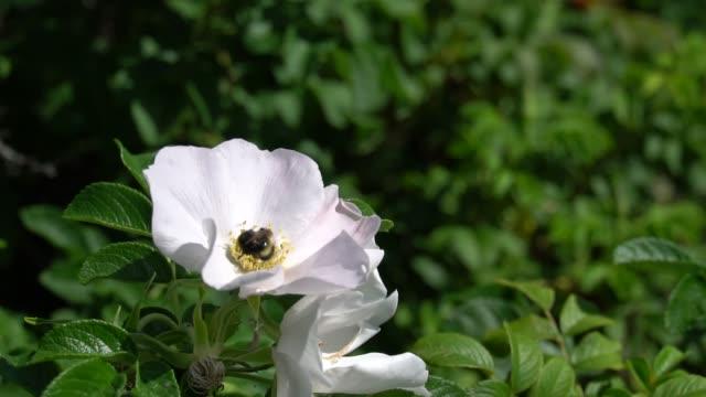 バンブルビーは公園や庭の背景に白いホエールウォッチングの芽に花粉を収集します。hd 映像ビデオ - イヌバラ点の映像素材/bロール