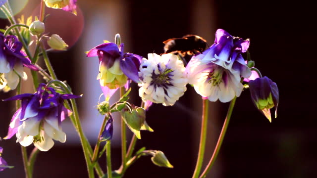 Bumblebee creeps along the flower of violet aquilegia
