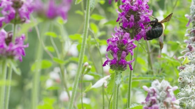 vídeos de stock e filmes b-roll de bumblebee feeding on purple flowers. - ambiente vegetal