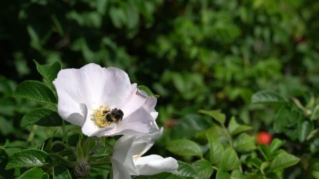 バンブルビーは、公園や庭の背景に白いお尻をバラ飛びます。hd 映像ビデオ - イヌバラ点の映像素材/bロール