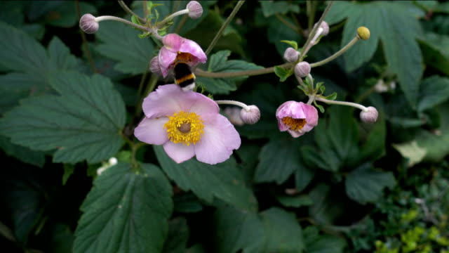 Bumblebee Flies to the Pink Flower video