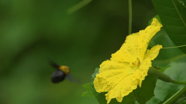 Bumblebee Fly On Flower Slow video