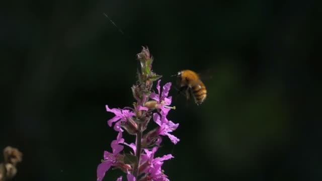 humla flygande och pollinerande lila röda blommor - pollinering bildbanksvideor och videomaterial från bakom kulisserna