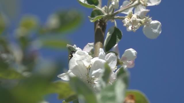humla flygande och pollinerande vita äpple blommor - äppelblom bildbanksvideor och videomaterial från bakom kulisserna