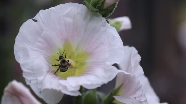 Bumblebee Gathering Pollen from Pink Hollyhock Flower