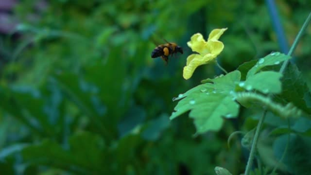 Bumblebee  Humblebees 1-2 Bee's slow motion. hovering stock videos & royalty-free footage