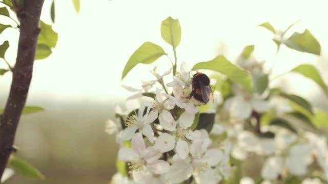 humla på en blomma. - fruktträdgård bildbanksvideor och videomaterial från bakom kulisserna