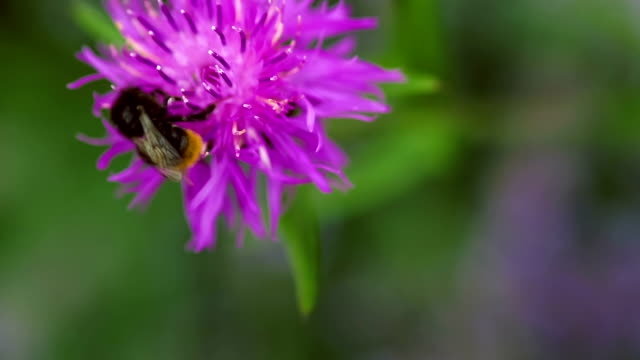 bumblebee on a lila knapweed flower, blurry background - ape regina video stock e b–roll