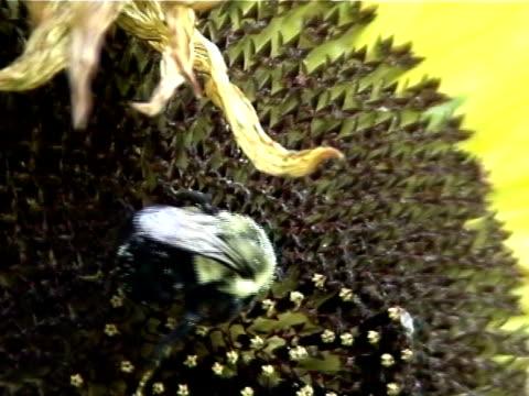 vídeos de stock, filmes e b-roll de bumblebee em um girassol - flor temperada