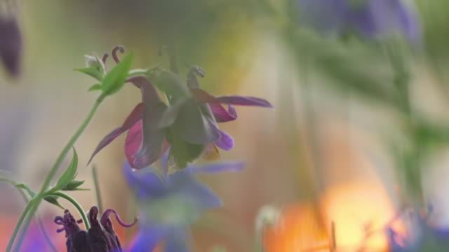 アキレギアの花にバンブルビー ビデオ