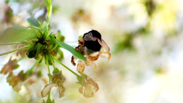 humlor på träd på våren närbild - äppelblom bildbanksvideor och videomaterial från bakom kulisserna