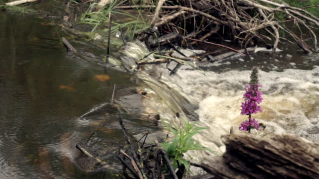Bumblebee pollinates Orchis on river video