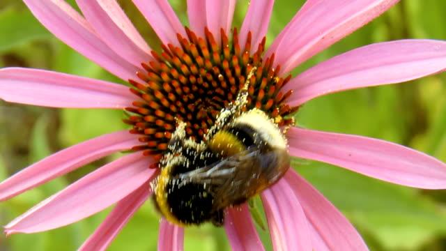 humla pollinerande blomma - pollinering bildbanksvideor och videomaterial från bakom kulisserna