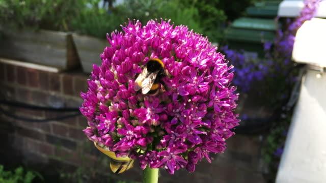 Bumblebee Pollinating Pink Allium Blossom