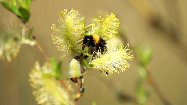Bumble-bee video