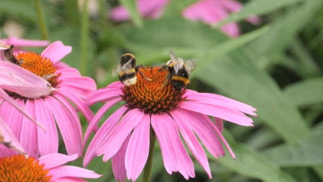 Bumblebees and a butterfly video