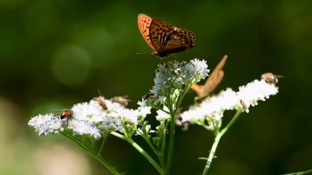 Bumblebees And Butterfly Collecting Nectar From Flower (Kaz Dağları)