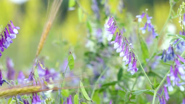 Bumblebees collects nectar and pollen on vetch flowers in the field video