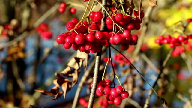 bunch berry of bright red mountain ash video