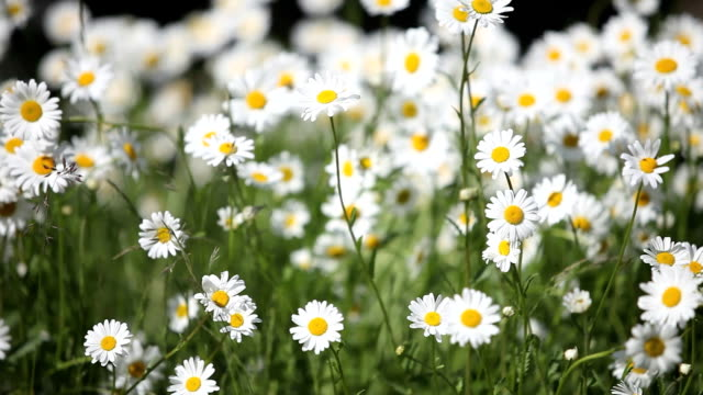 vidéos et rushes de tas de belles daisies au vent d'été - couleur saturée