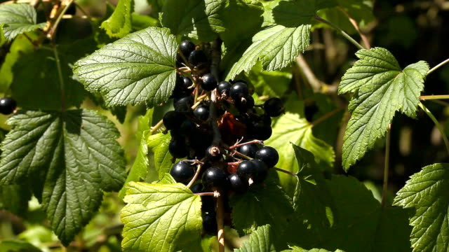 A bunch of black currant on bushes video