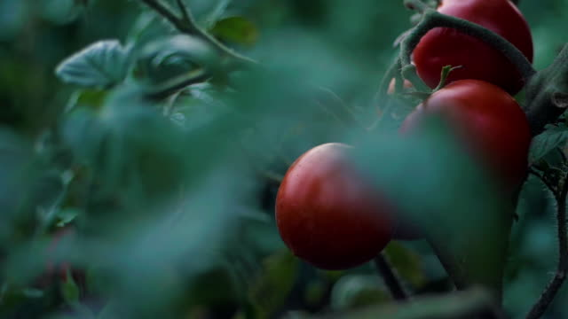 bunch of cherry tomatoes red green in water drops,Ripe natural tomatoes growing on a branch in a greenhouse,Ripe tomatoes ready to pick,Farm of tasty red tomatoes. Slow motion video