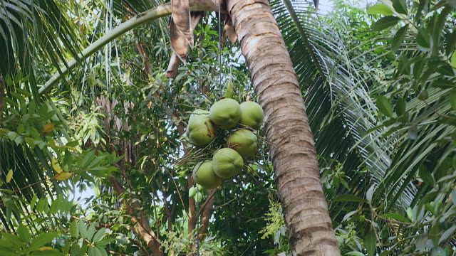 Bunch of coconut brought down safely from a palm tree Bunch of coconut brought down safely from a palm tree to the ground using a rope coconut palm tree stock videos & royalty-free footage